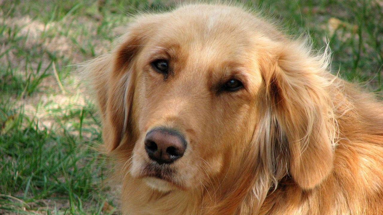 dog breeds - golden retriever56079892-159532