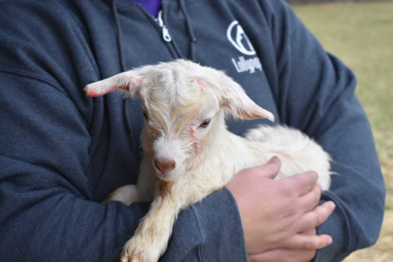 Lollypop Farm announces birth of two goats
