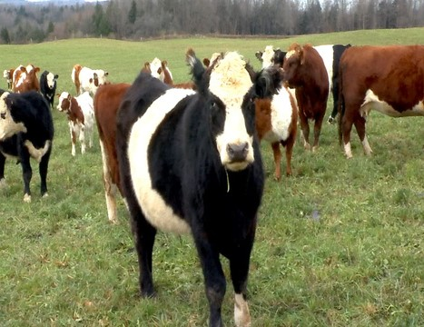 Cows farming agriculture farms farm_1542104572450.jpg.jpg