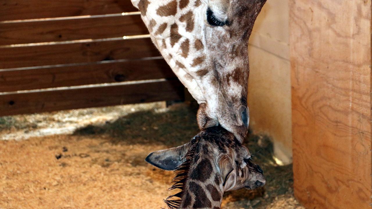 April the giraffe kisses baby-159532-159532.jpg86528419