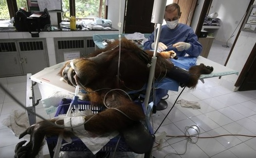 Orangutan shot in Indonesia_1552995628869.jpg.jpg