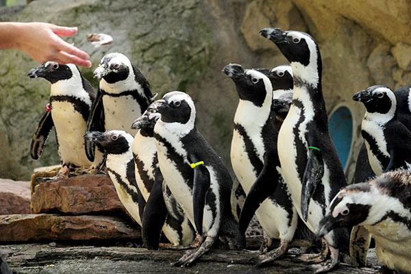 Seneca Park Zoo Celebrating World Penguin Day