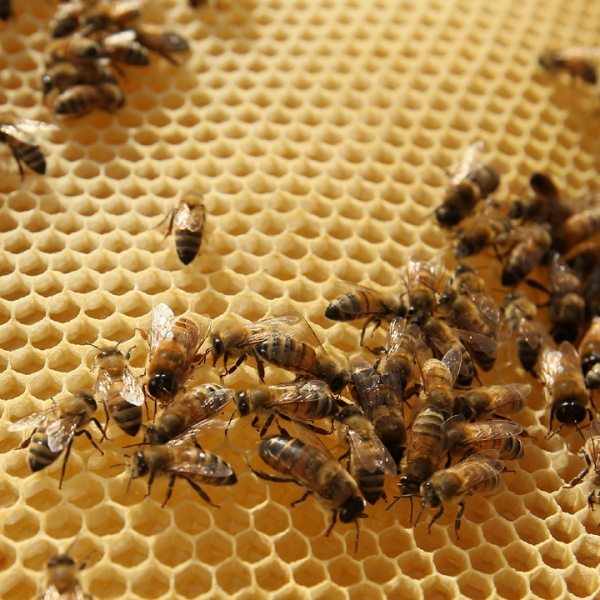 Bees on honeycomb-159532.jpg32542774