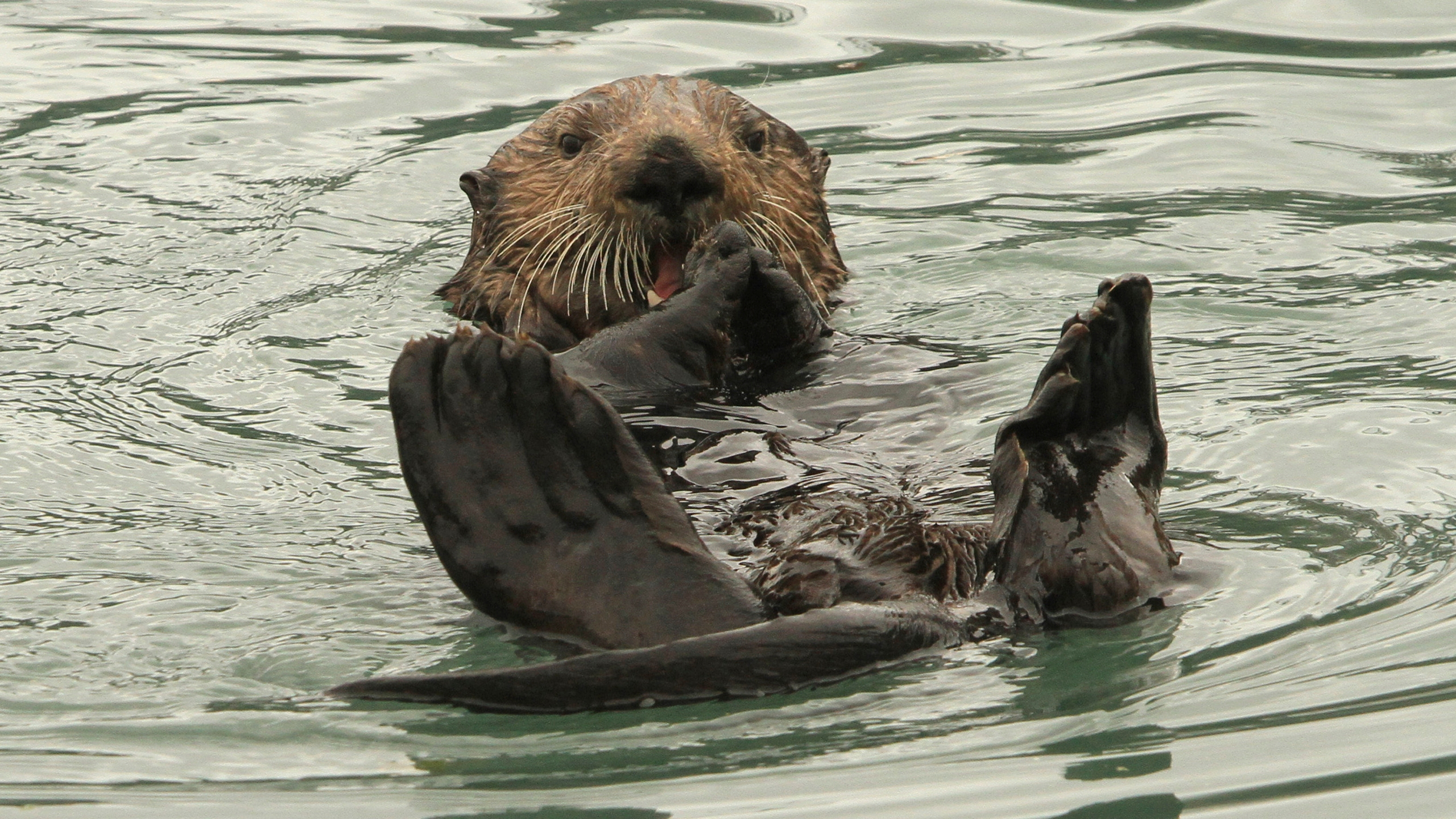 Sea_Otters_Alaska_Seafood_67199-159532.jpg38395991