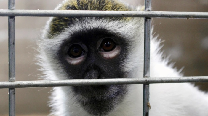 Monkeys primates apes Zoo Animals_1560602052152.jpg.jpg