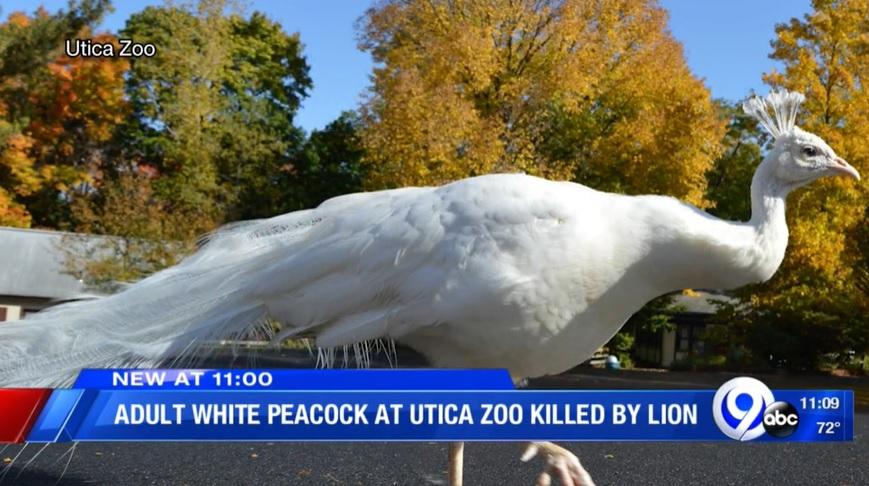 Peacock killed by lion at Utica Zoo_1561029583709.jpg.jpg