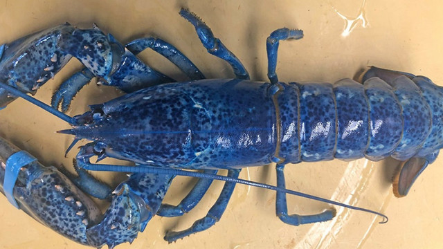 a blue lobster_1560535870597.jpg.jpg