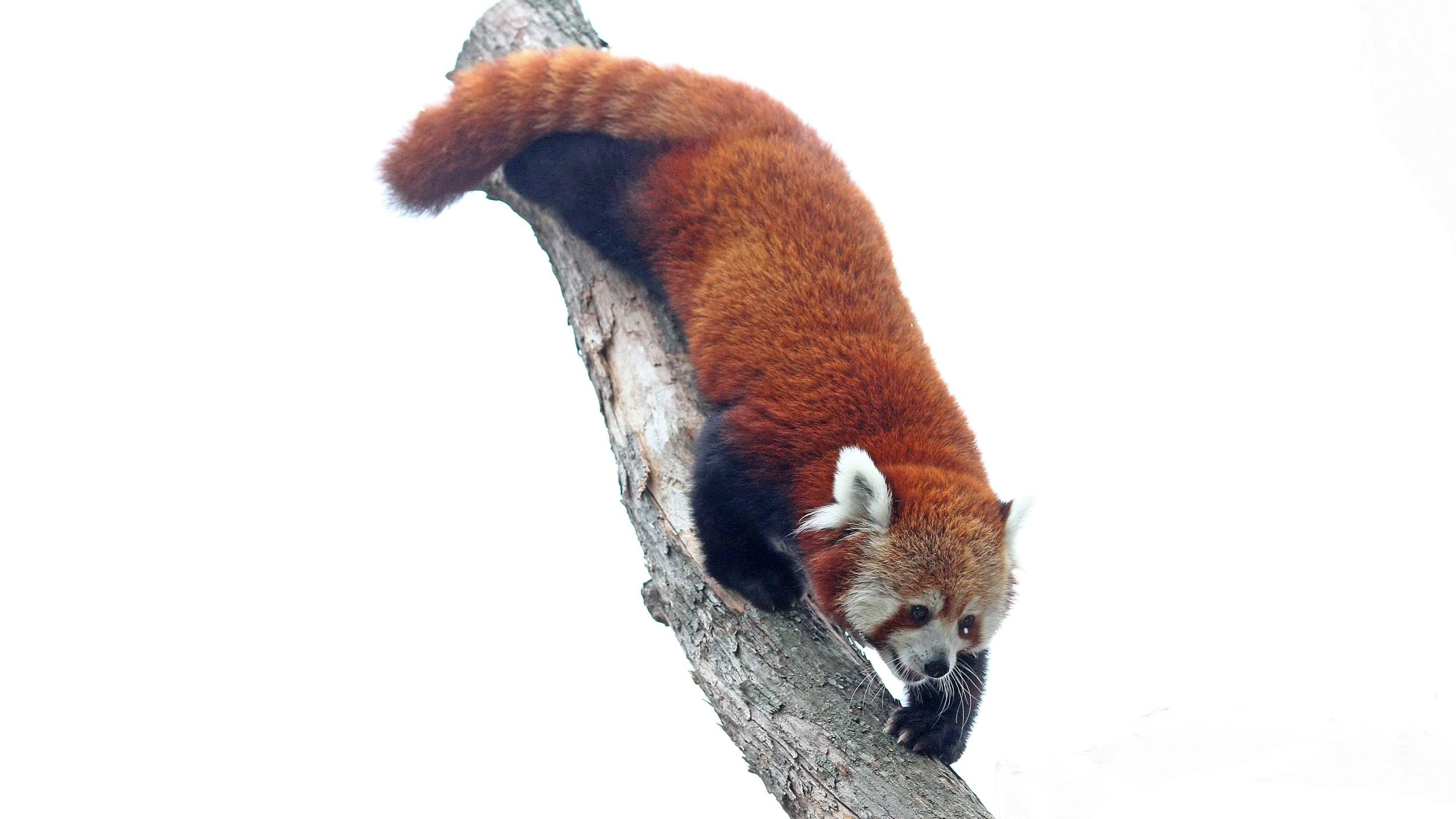 red panda_1560355344148.jpg.jpg